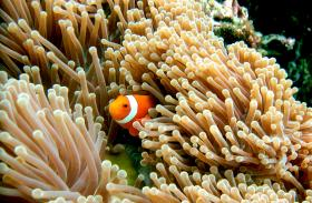 Clown fish ('Nemo') at Menjangan Island, Bali