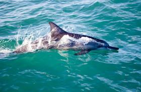 Lovina, dolphins